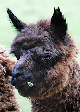 Alpaca
